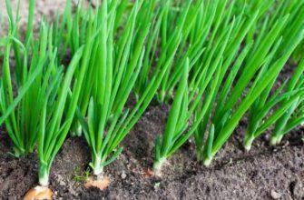 Выращивание лука на приусадебном участке