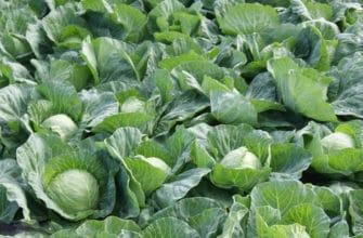 Выращивание капусты на приусадебном участке