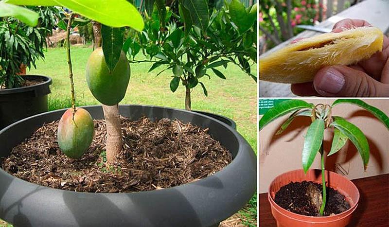 Стадии развития манго из косточки