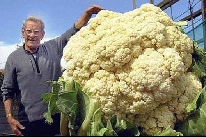 Самая большая цветная капуста в мире