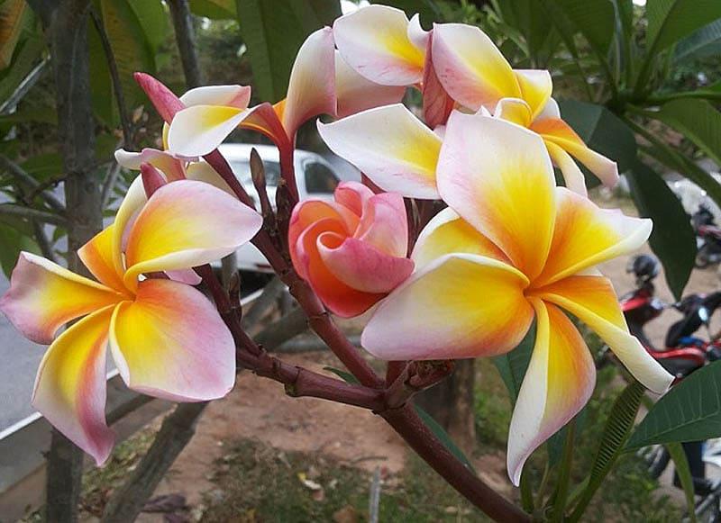Вот так цветет манго