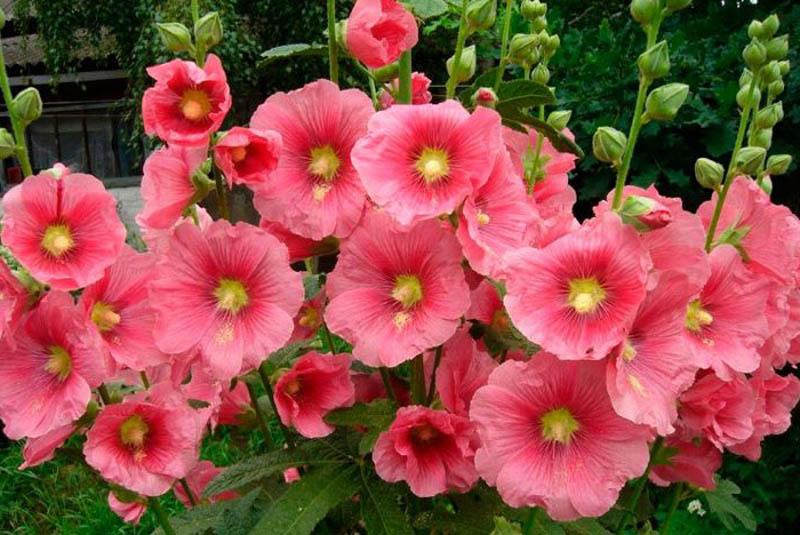 Мальва розовая фото