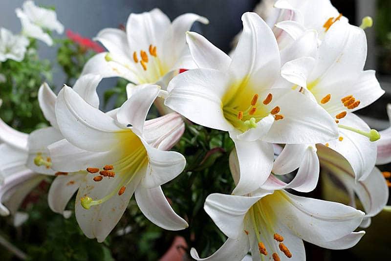 Великолепные лилии свои любимым